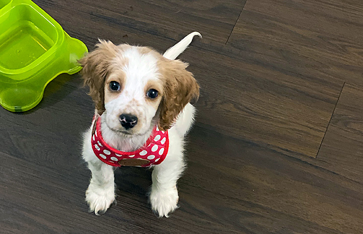 Small brown and white puppy wearing a red and white polka dot harness