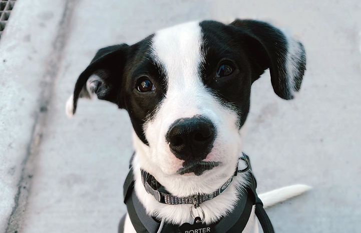 The face of black and white puppy, Porter, who is wearing a harness