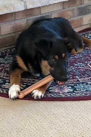 Shadow the tri-colored puppy chewing on a toy bone