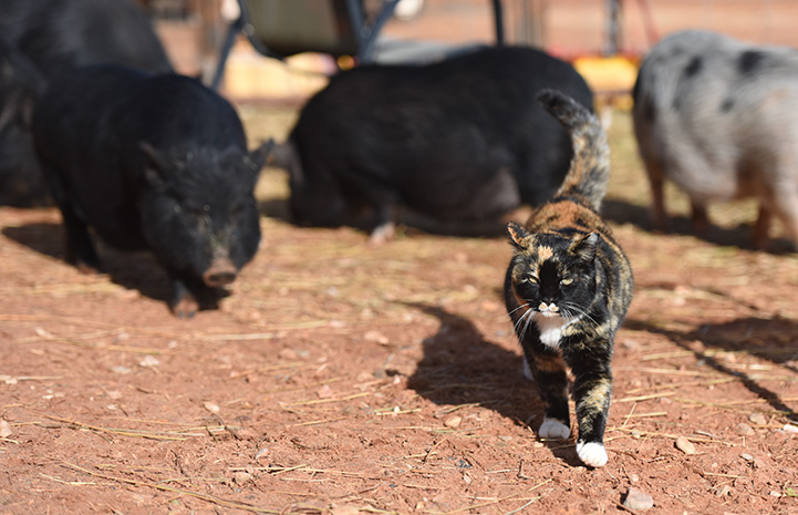 Meow the cat walking in front of some potbellied pigs