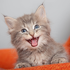 Meowing gray tabby kitten with ear tips