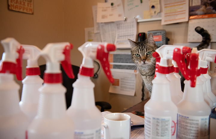 Svetlana the cat looking out from behind a bunch of spray bottles