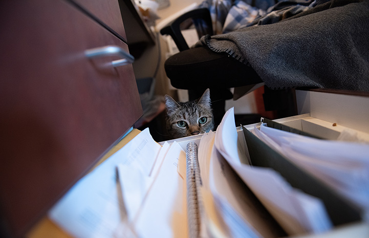 Svetlana the cat peering out from behind an opened file cabinet drawer