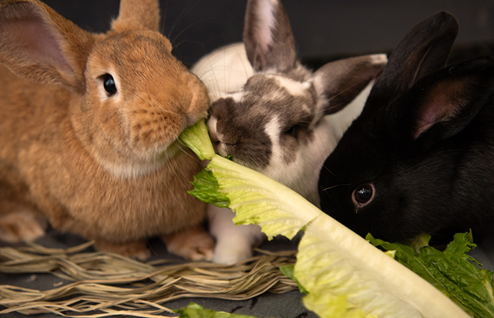 Pair of rabbits eating a piece of romaine lettuce