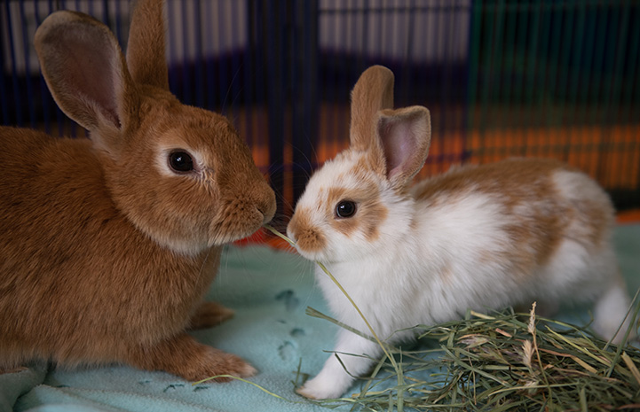 Brown and white baby bunny next to an adult brown rabbit