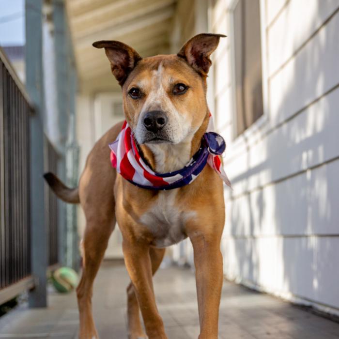 tan dog with patriotic bandana