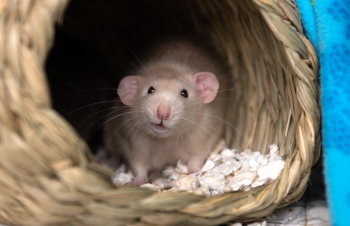 Falcon the rat looking out of a basket