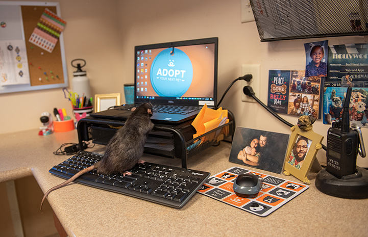 Hawk the rat on a computer keyboard looking at the monitor that says Adopt