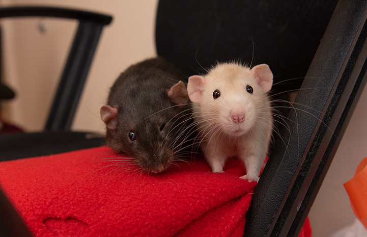 Hawk and Falcon the rats next to each other on an office chair