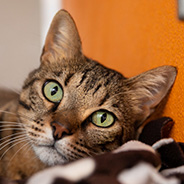 Adopt Ravioli the cat available for adoption from Salt Lake City