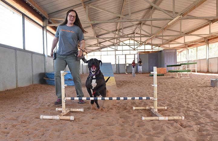 Sosa, a black and white Labrador retriever mix, jumping while doing the agility course