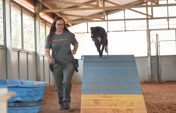 Sosa, a black and white Labrador retriever mix, climbing over an A-frame during agility