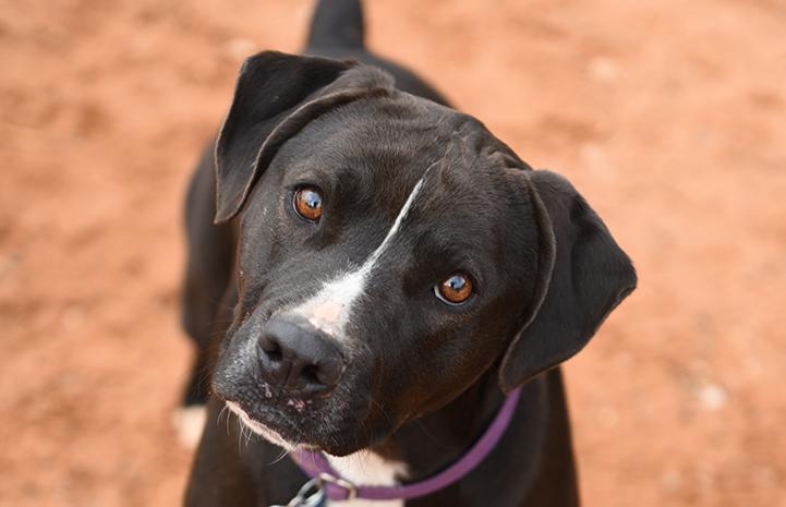 The face of Sosa, a black and white Labrador retriever mix,