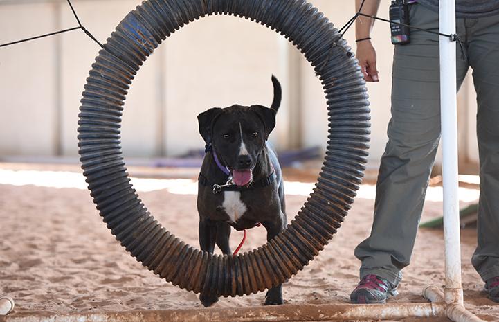 Sosa, a black and white Labrador retriever mix, jumping through the hoop in agility
