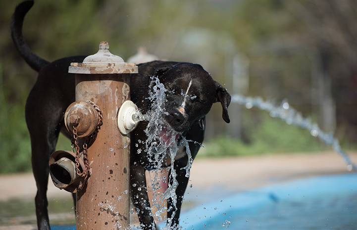 Sosa, a black and white Labrador retriever mix, playing in the water coming out of a hydrant