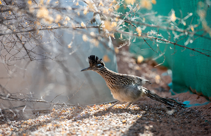 Roadrunner within an enclosure