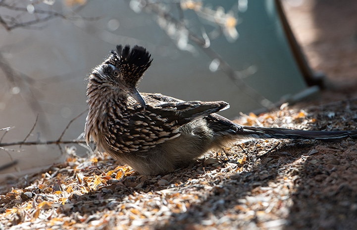 Roadrunner lying on the ground