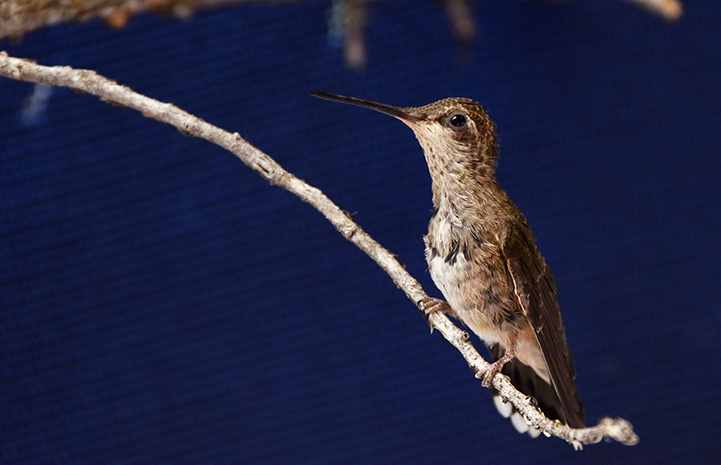 Hummingbird standing on a branch