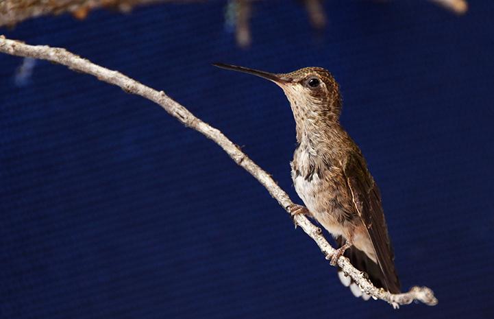 Hummingbird standing on a branch