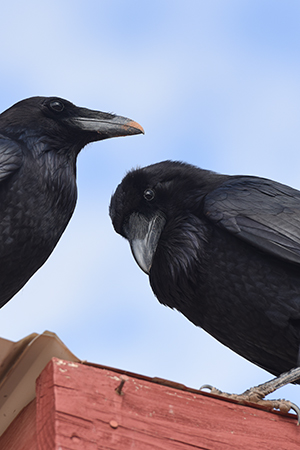 Pair of rehabilitated ravens