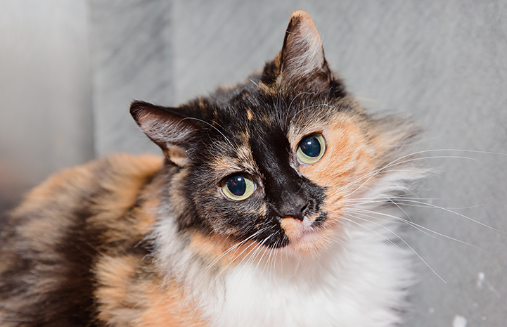 Be sure to ask questions of any prospective adopter of the cat or dog you've found. This calico cat was just adopted.