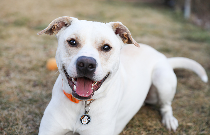Check with your local animal control or animal services department in your city to find out what your legal obligations are when you find a lost pet like this happy white medium-sized dog