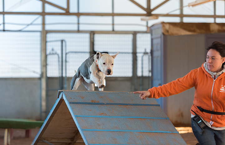 Isabel the dog running over an A-frame in an agility course