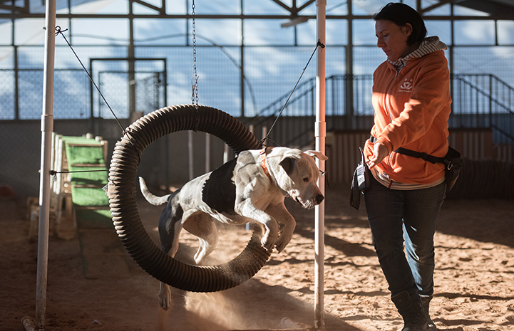 Woman directing black and white dog to jump through hoop in agility course