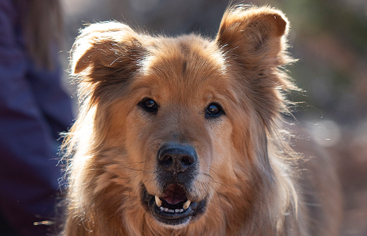 A photo of Jacko the Chow dog's face looking directly at the camera