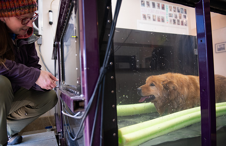 Jack the Chow dog undergoing hydrotherapy with caregiver Jess