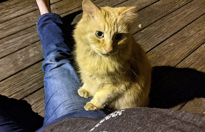 Orange tabby cat on the side of a person's lap