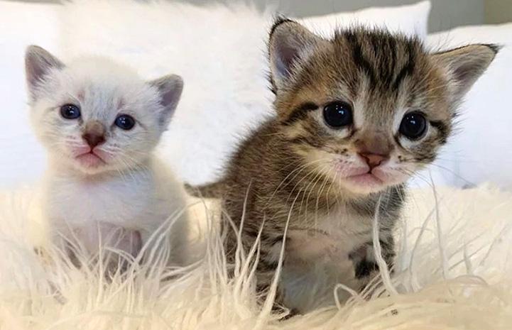 Hei Hei and Pua the kittens