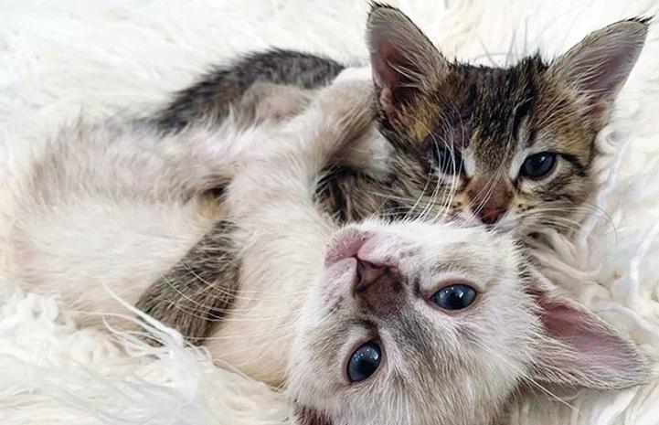 Hei Hei and Pua the kittens wrestling