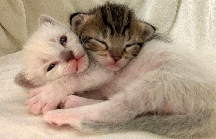 Very young kittens, Hei Hei and Pua