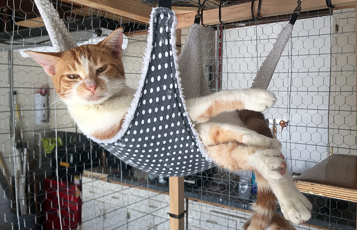 Sweet Pea the orange tabby with white cat, lying in a hammock