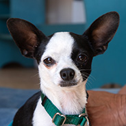 Adopt Robert Johnson the dog available for adoption from the Sanctuary