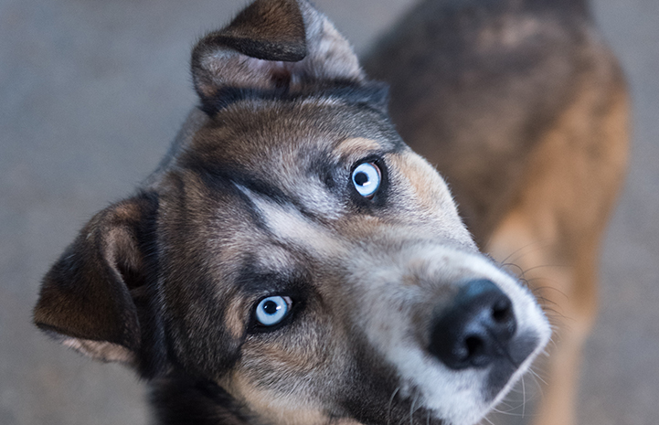 Husky mix dog with floppy ears and pale blue eyes who has lymphoma