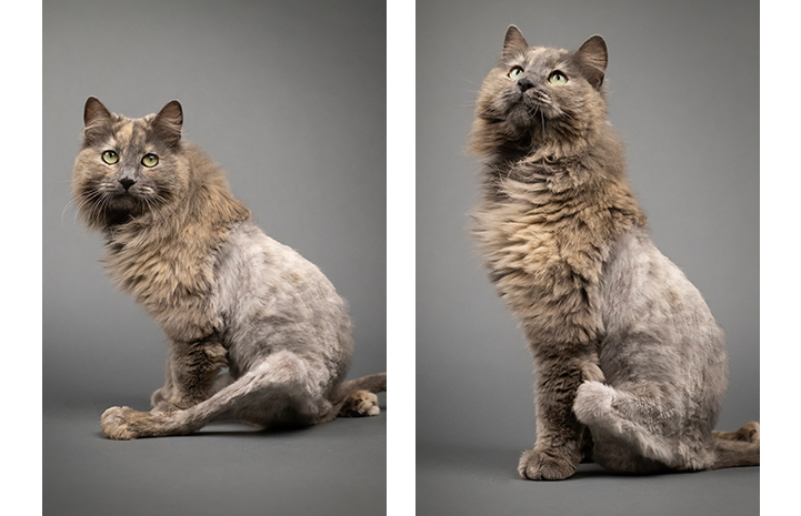 Two photos of Rogue, a long-haired dilute calico cat who has a lion cut