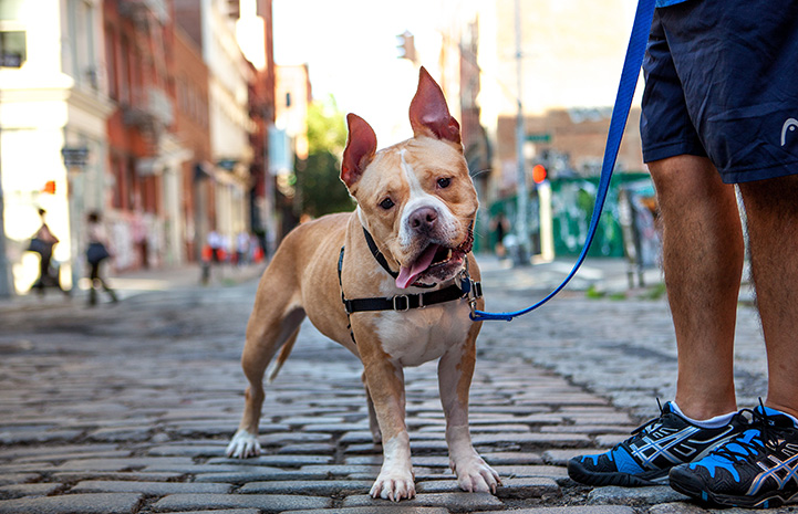 Ruthie, a tan and white pit bull terrier type dog with upright ears, out for a walk