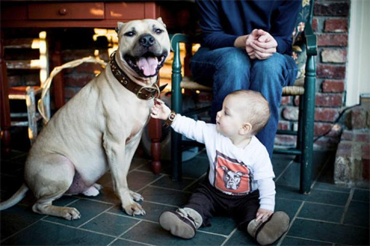 Dan, a former Vick pit bull dog, with his adoptive family and baby
