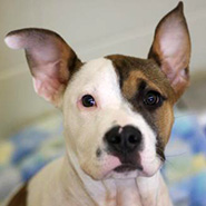 Adopt Sage the dog available for adoption from Lexington
