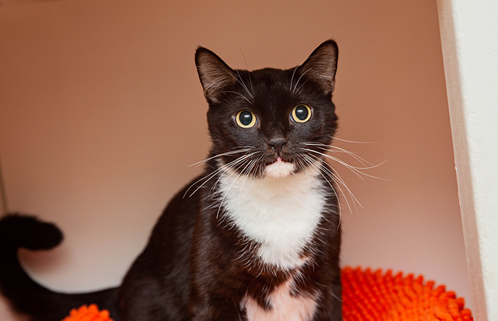 Wide-eyed black and white cat on an orange blanket