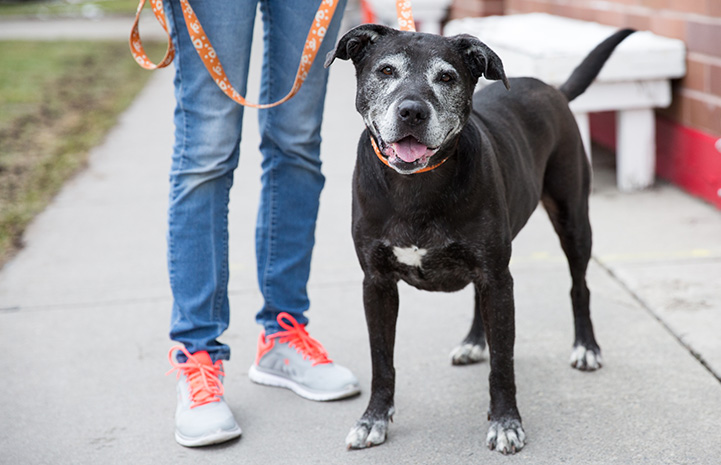 Older black dog with gray muzzle being walked with a Best Friends leash