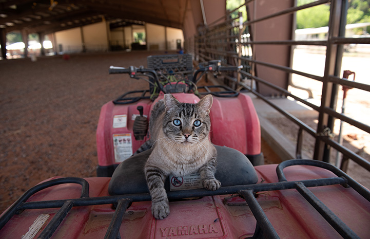 Leopold the cat sitting on an ATV vehicle in a horse arena
