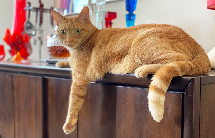Orange tabby cat May lying on the edge of a counter with legs from one side hanging down