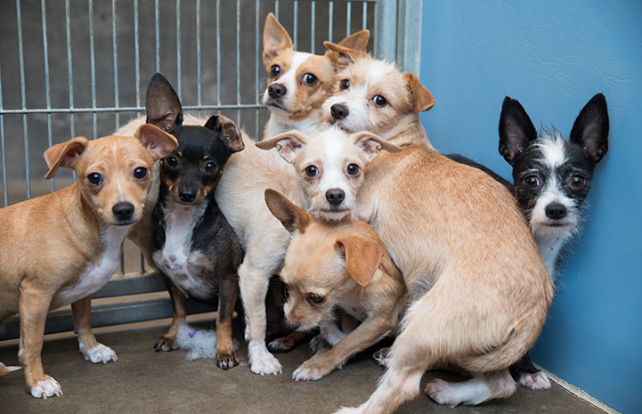 Group of shy Chihuahua mix dogs in a kennel huddled together