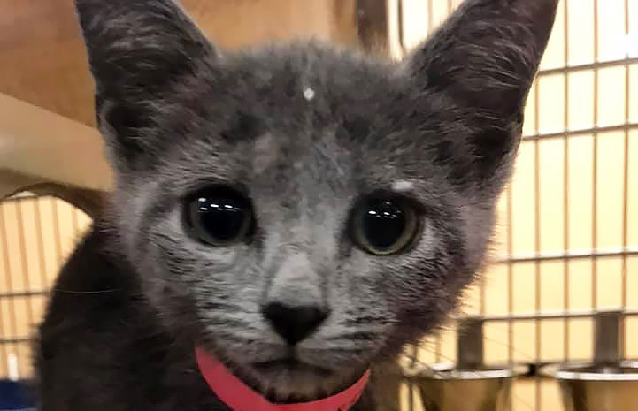 Gray kitten with large eyes and pink paper collar