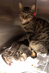 Brown tabby mama cat with some kittens in a stainless steel kennel