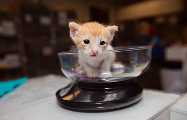Orange tabby and white kitten getting weighed in a scale