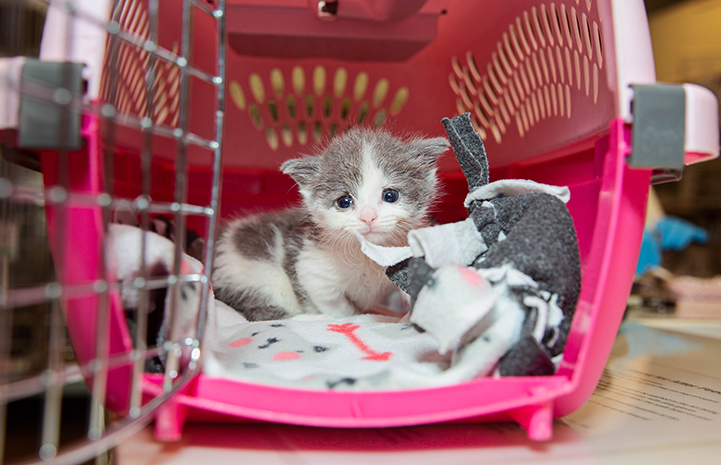 Gray and white kitten in a pink carrier